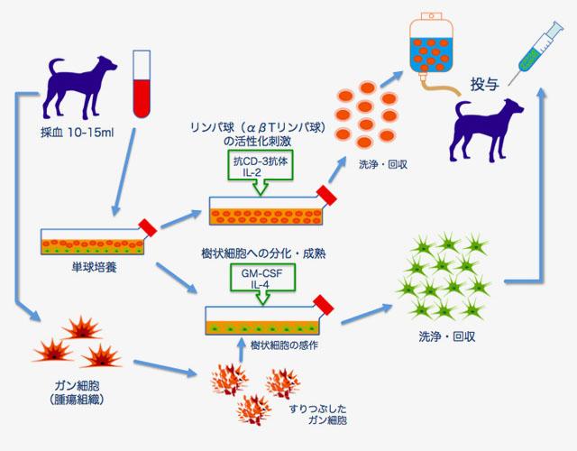 樹状細胞(DC)治療の図